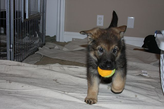 pup-with-ball